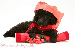 Black Miniature Poodle at Christmas