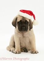 English Mastiff pup wearing Santa hat
