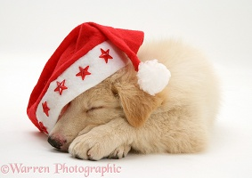 White Alsatian pup asleep wearing a Santa hat
