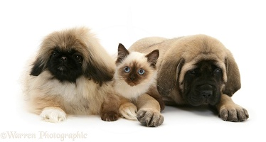 Pekingese and English Mastiff pups with kitten