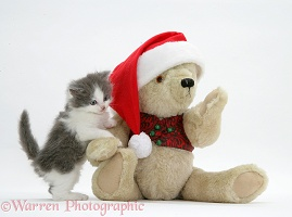 Grey-and-white kitten and teddy bear