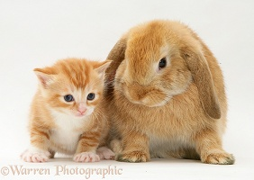 Small ginger kitten with Sandy Lop rabbit