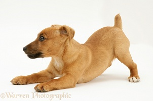 Jack Russell Terrier x Chihuahua pup play-bowing