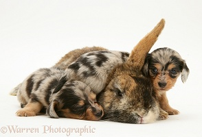 Dachshund pups with rabbit