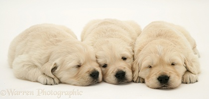Cute sleepy Golden Retriever pups