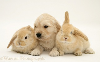 Golden Retriever pup and rabbits