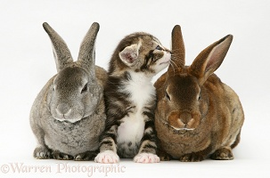 Tabby-and-white kitten with two Rex rabbits