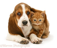 Ginger kitten under the ear of a Basset pup
