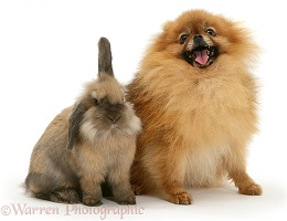 Pomeranian and rabbit