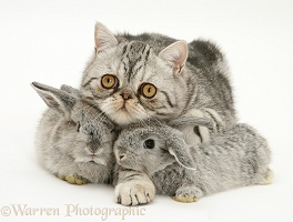 Baby rabbits with Exotic cat