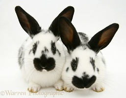 Young English spotted rabbits