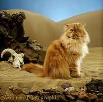 Red tabby Persian male cat