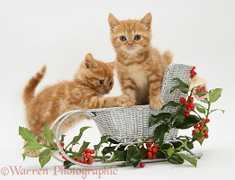 Red tabby kittens in a toy sledge