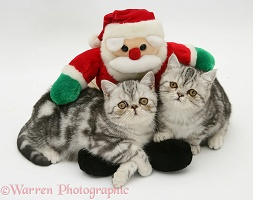 Silver tabby Exotic kittens with toy Santa