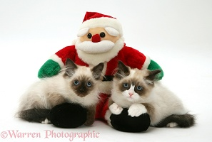 Birman-cross kittens with a toy Santa