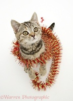 Brown Spotted British Shorthair kitten with tinsel