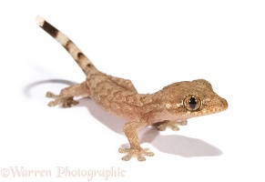 Trinidad house gecko recently hatched