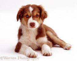 Red tricolour Border Collie dog pup