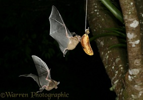 Trinidad fruit bat