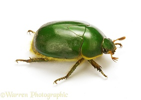 Green fruit beetle