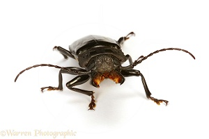 Tropical beetle