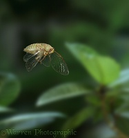 Cicada in flight