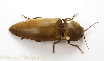 Luminous click beetle