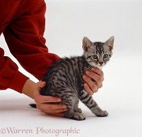 Picking up a silver spotted kitten