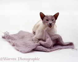 Lilac-point Siamese male cat eating wool