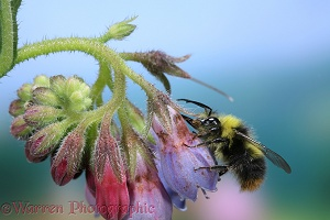 Meadow Bumblebee