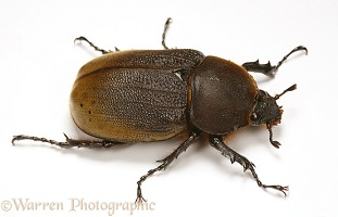 Rhinoceros beetle female