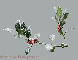 'Frosted' holly