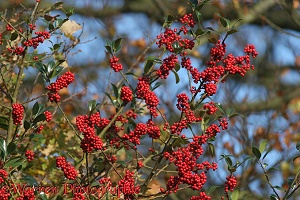 Holly berries with beech