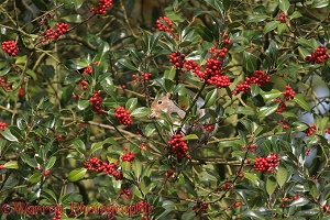 Holly berries with squirrel