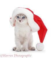 Colour-point kitten in a Santa hat