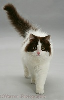Black-and-white cat walking forward on grey background