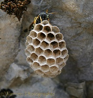 Polistes Wasp on nest