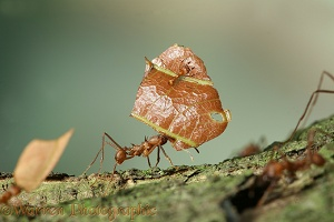 Leaf-cutting ants