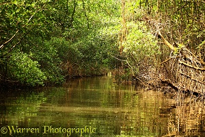 Tide channel through mangrove swamp