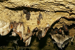 Bats roosting in the limestone caves at Tamana