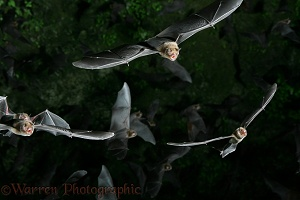 Insectivorous bats in flight