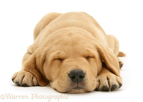 Sleepy Yellow Labrador pup