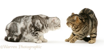 Silver Exotic cat meets Brown tabby cat