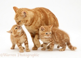 Ginger cat and kittens