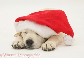 Retriever pup asleep wearing a Santa hat