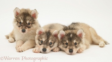 Utonagan puppies