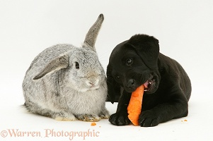 Retriever pup and rabbit