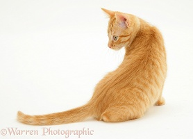 Ginger kitten looking round