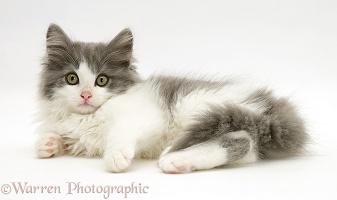 Grey-and-white kitten lying down
