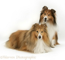 Shetland Sheepdogs (Shelties)
